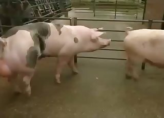 Two pigs enjoying a hardcore romp