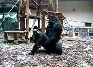 Dark monkeys are great fans of having a healthy sex life